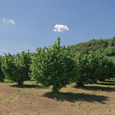 Territorio della Nocciola Piemonte IGP